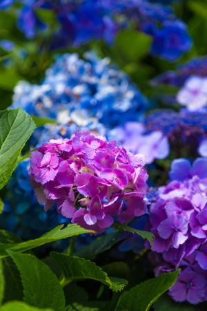 Japan summer flowers, hydrangeas