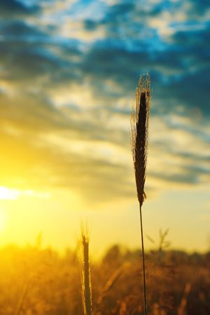 Stem of wheat under morning sunlight photo