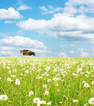 Cow walking on green meadow with green grass photo