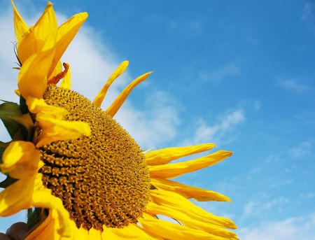 airy texture: Yellow sunflower over blue sky with clouds