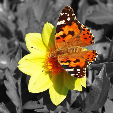 Red moth on flower on colorless background photo