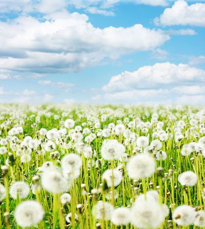 Meadow with fluffy dandelions under blue sky with clouds photo