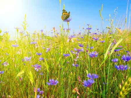 Meadow with wild flowers and butterfly photo