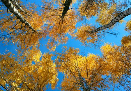 Yellow trees and clear blue sky. View from below photo