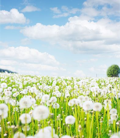 Meadow with fluffy dandelions photo