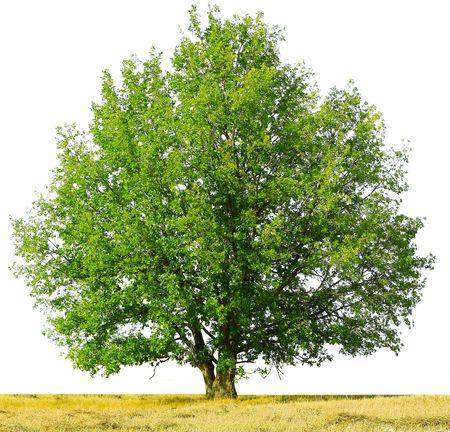 緑の木および白で隔離される黄色の乾いた草 写真素材