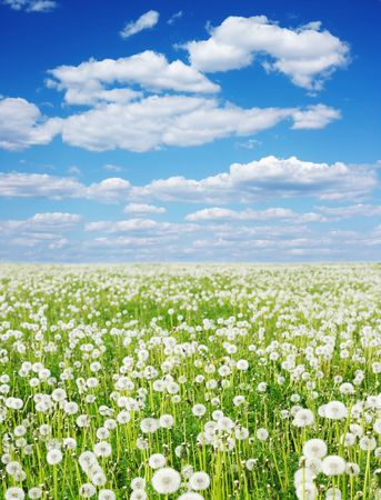 Field with fluffy dandelions and blue sky photo