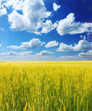 airy: Yellow wheat blue sky and white airy clouds