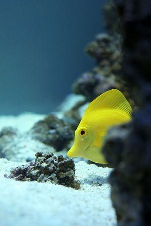 Yelloy fish in aquarium Stock Photo - 5783328