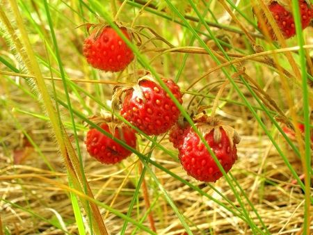 Wild strawberry Stock Photo - 5783662