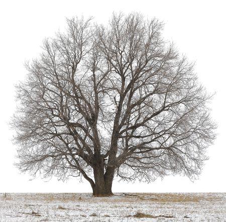 albero secco: Inverno albero senza foglie isolata on white Archivio Fotografico