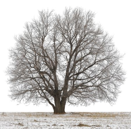 oak tree: Winter tree without leaves isolated on white
