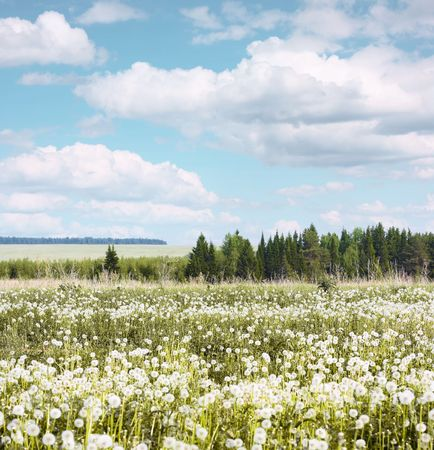Summer meadow with dandelions under blue sky photo