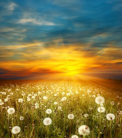 Sunset on meadow with dandelions photo