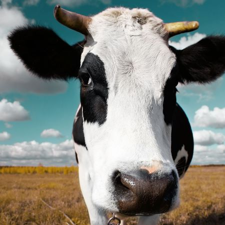 closeup cow face: Cow on meadow with grass under blue sky with clouds Stock Photo