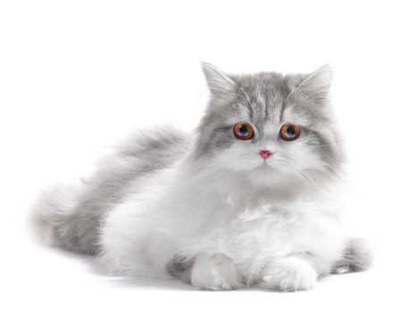 白で隔離され、ふわふわの白い古典的なペルシャ猫
