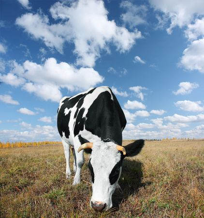 Cow on meadow with grass under blue sky with clouds photo
