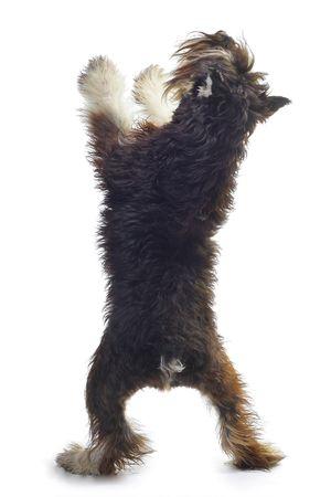 dog pose: Zwergschnauzer isolated on white