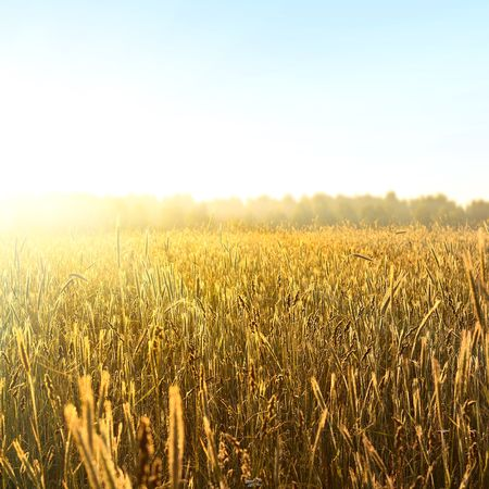 Sunrise over field with yellow wheat and clear blue sky Stock Photo - 6444091