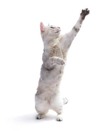 salto largo: Gato de Playfull con la mano levantada  Foto de archivo