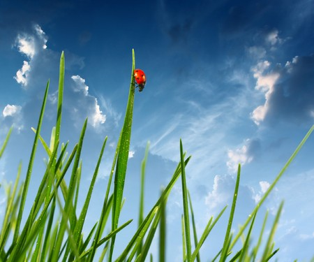blades: Red ladybird on grass blade