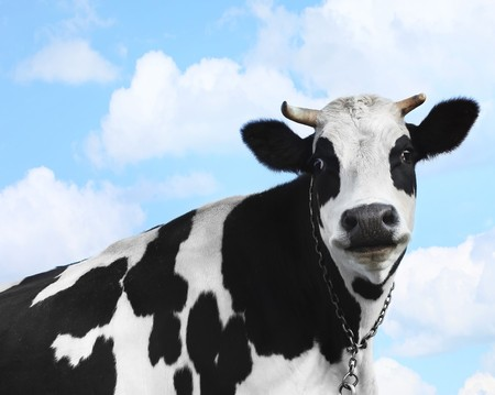 Smiling cow over blue sky background photo