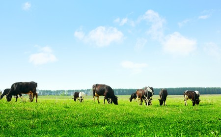 black and white farm: Cows on green meadow and blue sky with clouds