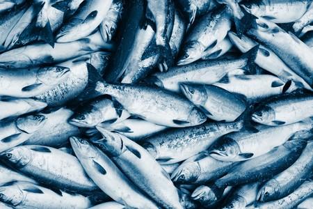 Fresh blue toned fish (salmon) photo