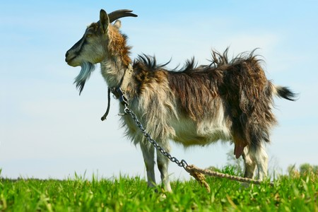 Goat standing on green grass on blue sky background photo