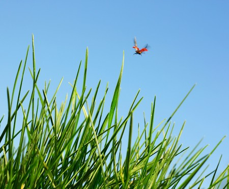 Red ladybird flying over green grass Stock Photo - 7112210