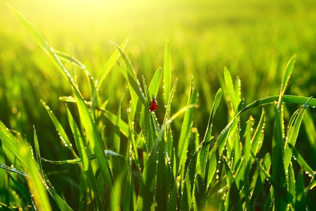 Green wet lush grass with ladybird under sunrise light photo