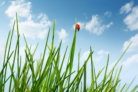 Red ladybird walking on green grass blade Stock Photo - 7112146