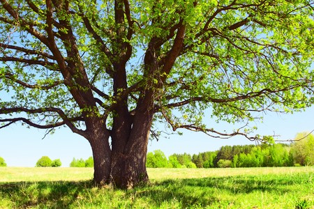 Big trees branches with fresh leaves on green meadow in sunny day photo