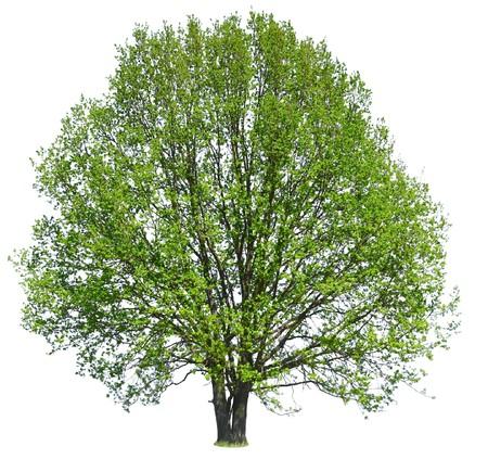 Tree isolated on white Stock Photo - 7112592