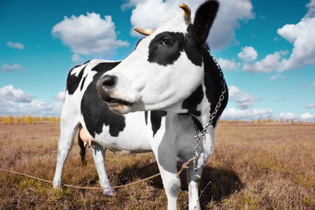 beast ranch: Cow on meadow with grass under blue sky with clouds Stock Photo
