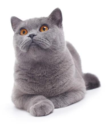 猫 (ブルー英国) 白で隔離されます。