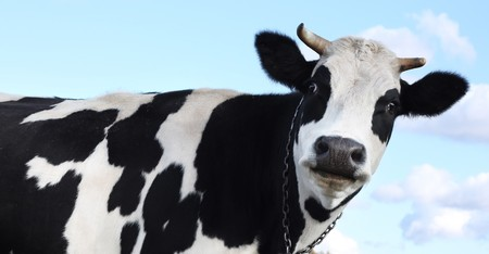 beautiful cow: Cow over blue sky with clouds Stock Photo
