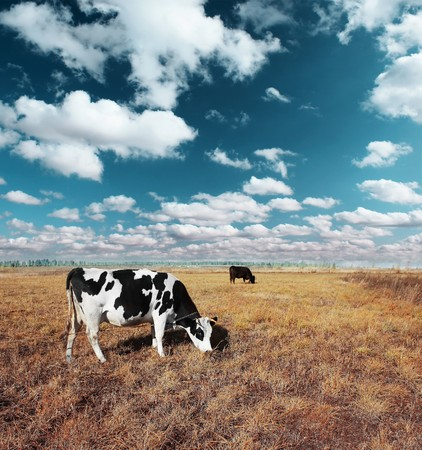 Cows on meadow with grass under blue sky with clouds photo