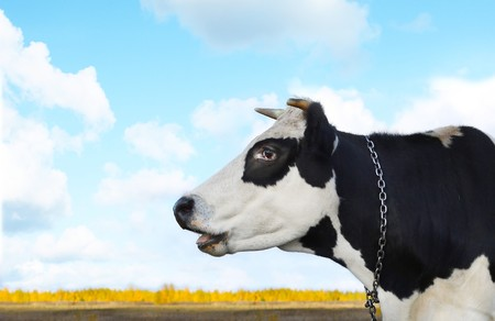 Cow on blue sky with clouds photo