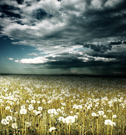 Field with dandelions under storm clouds with rain photo