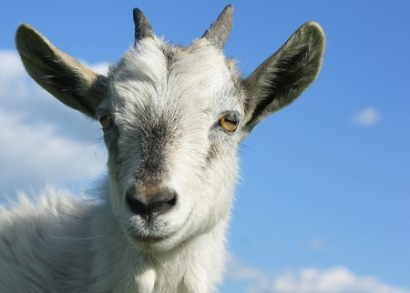 uncombed: Head of young smiling goat over blue sky background