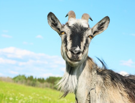 Smiling goat over blue sky photo