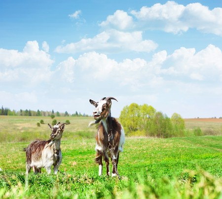 Two goats standing on green grass and looking to somewere photo