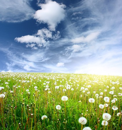 Summer meadow with wild dandelions and blue sky with clouds photo