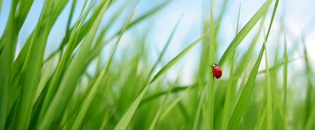 Alone red ladybird in grass photo