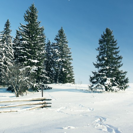 inhabited: Pine trees in snow on hill Stock Photo