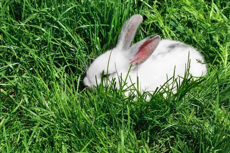 Little white sleeping rabbit in deep green grass  photo
