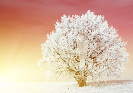 Alone frozen tree in field and red clear sky photo