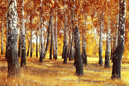 wooden beams: Autumn forest with yellow birches and dry herb