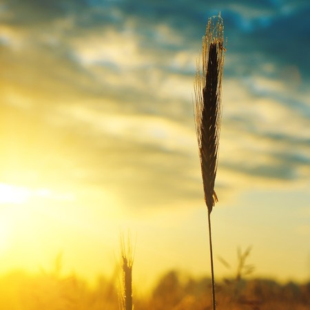 sulight: Stems of wheat under morning sulight